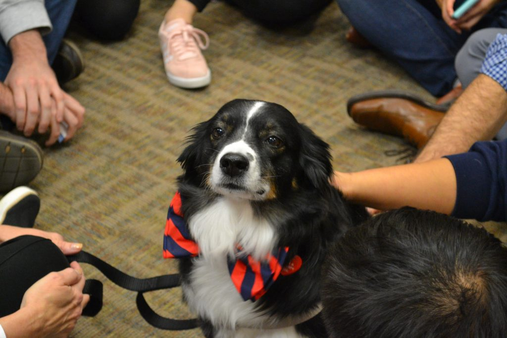 Therapy dog with UVA blue and orange Cavalier colored bow tie.