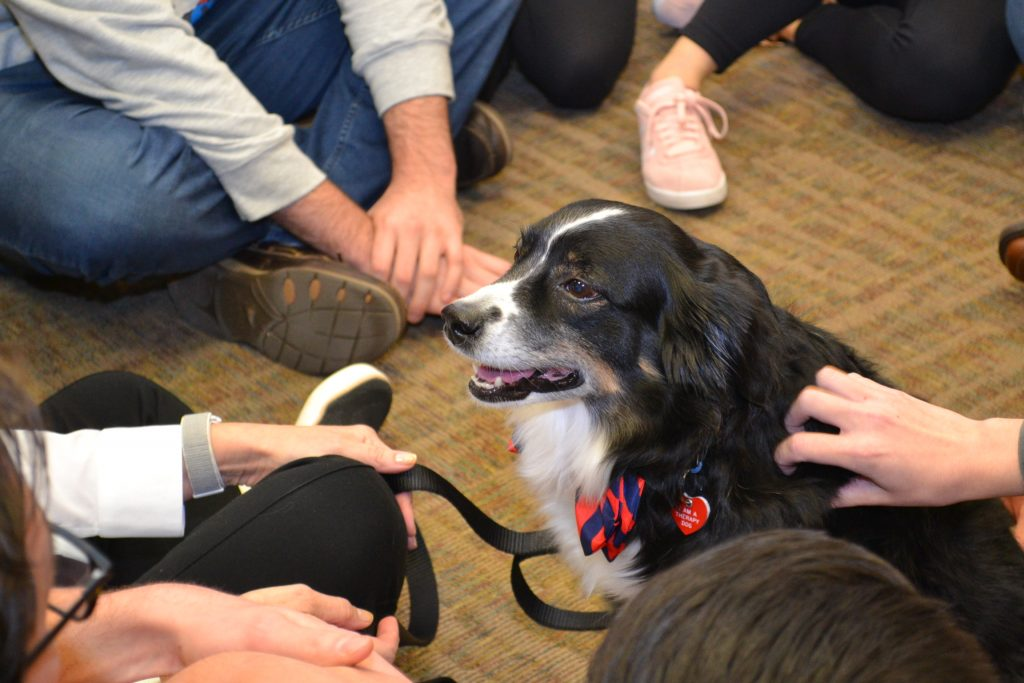Therapy dog with UVA blue and orange Cavalier colored bow tie being petted by students.