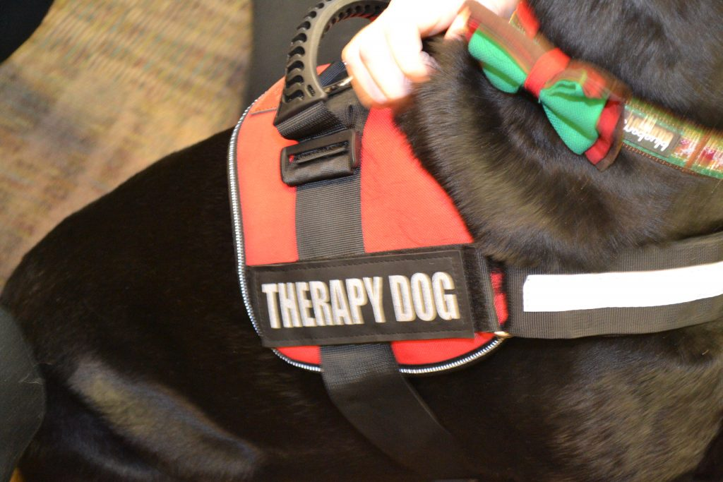 UVA therapy dog with harness.